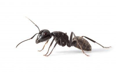 Ant Control Fife