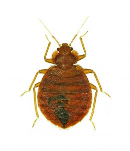 Bed Bug Removal Fife