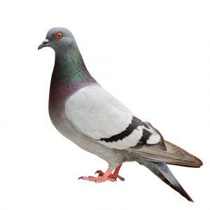 Pigeon Control Fife