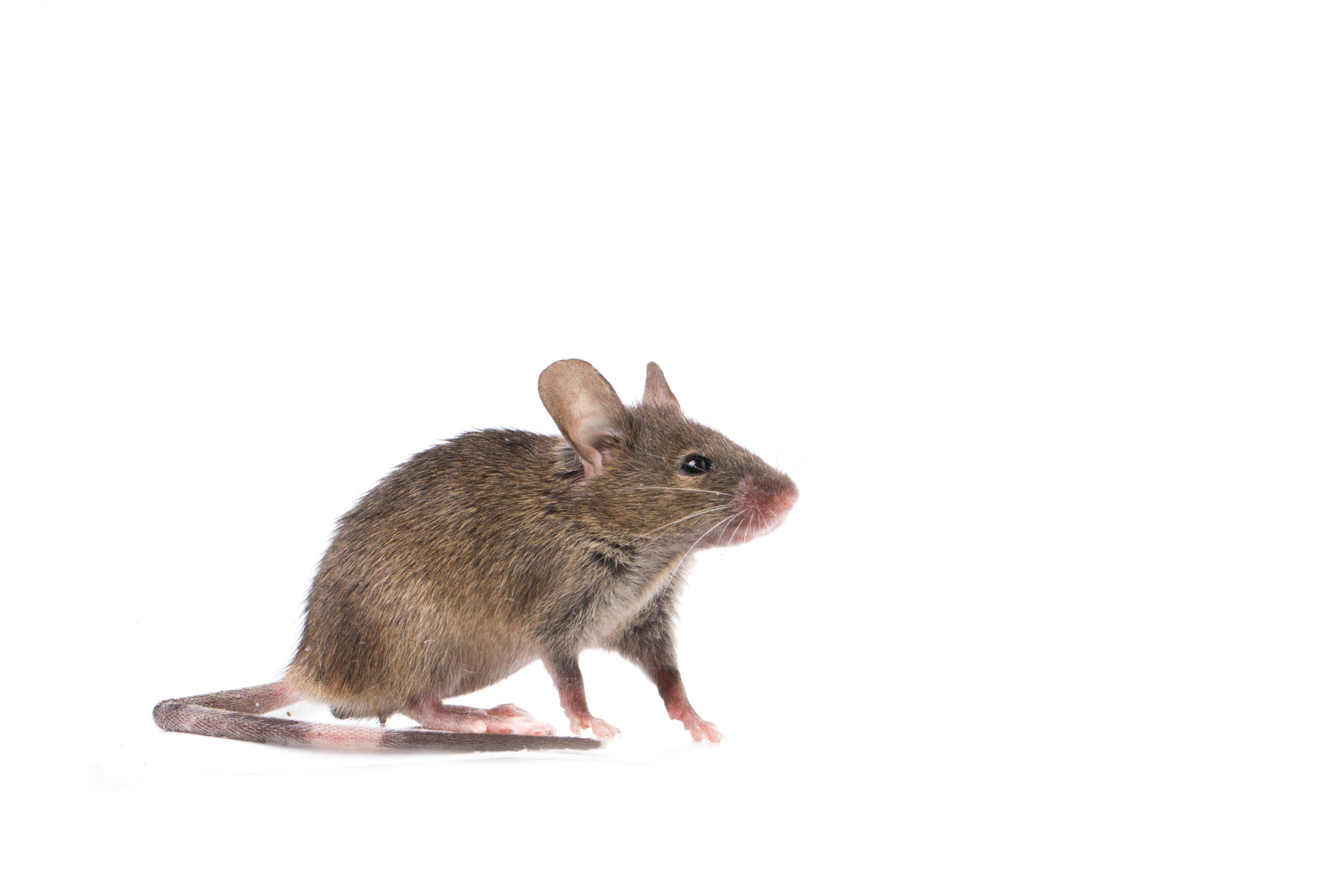 Mice Control Fife